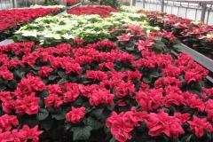 fiori_serra